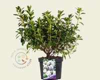 Rhododendron Azalea 'Schneewitchen'