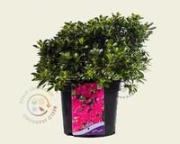 Rhododendron Azalea 'Anne Frank'