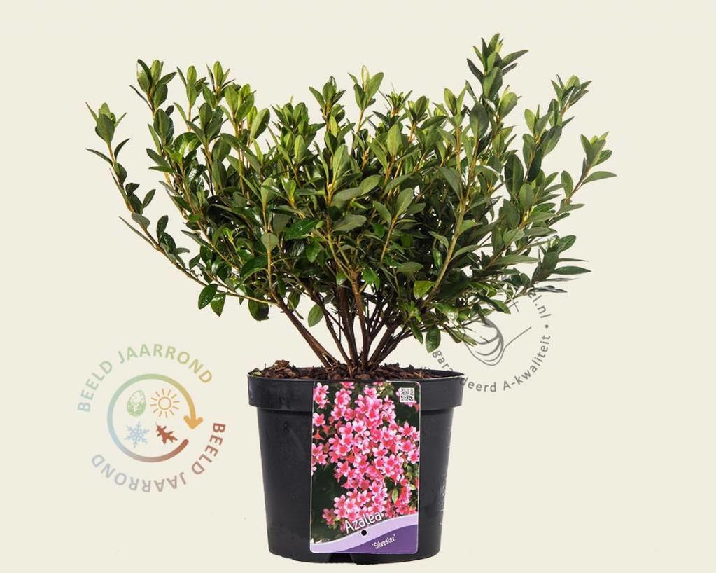 Rhododendron Azalea 'Silvester'