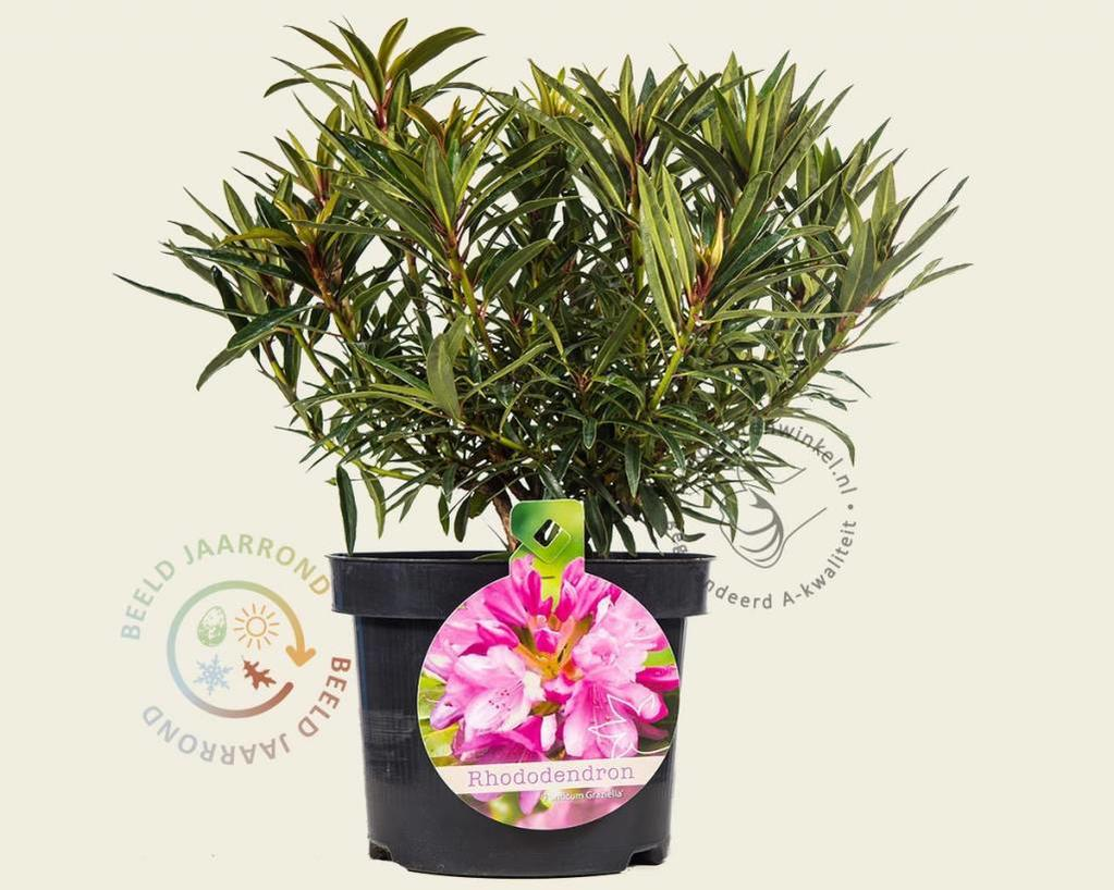 Rhododendron ponticum 'Graziella'