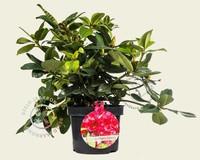 Rhododendron caucasicum 'Germania'