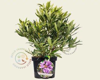 Rhododendron ponticum 'Variegatum'