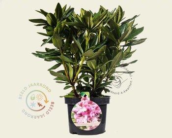 Rhododendron caucasicum 'Cosmopolitan'