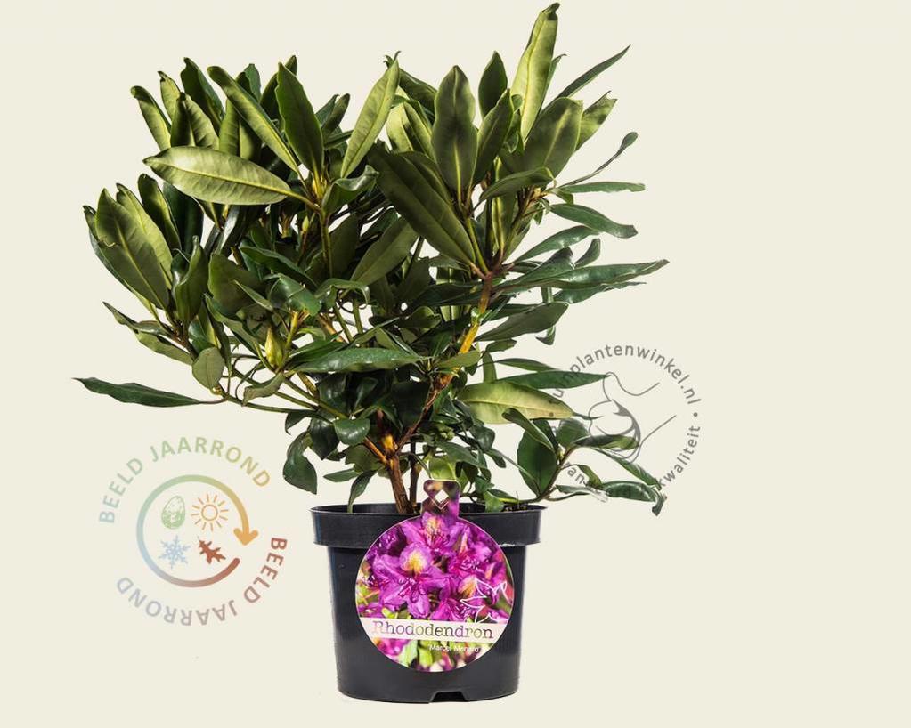 Rhododendron ponticum 'Marcel Menard'