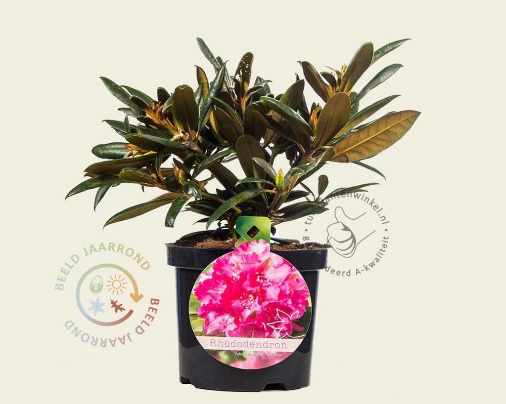 Rhododendron yakushimanum 'Kalinka'