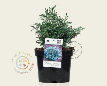 Chamaecyparis pisifera 'Baby Blue'