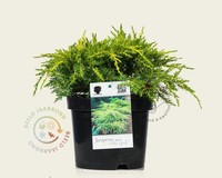 Juniperus media 'Old Gold'