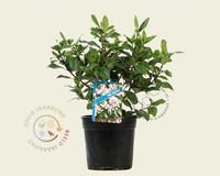 Viburnum tinus 'Gwenllian'