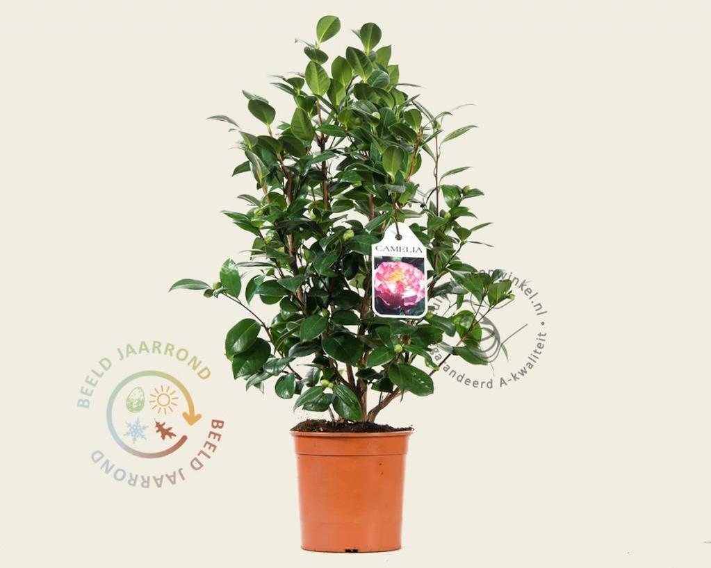 Camellia japonica 'Nuccio's Jewel'