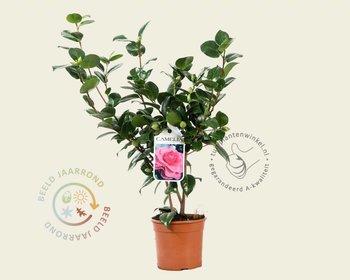Camellia japonica 'Ack-Scent'