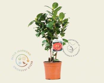Camellia japonica 'Barbara Morgan'