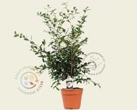 Camellia sasanqua 'Hino de Gumo'
