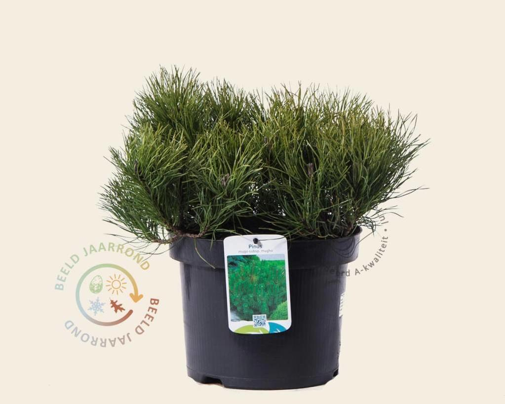 Pinus mugo var mughus