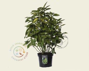 Aucuba japonica 'Variegata' - XL