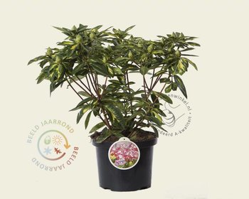 Rhododendron ponticum 'President Roosevelt'