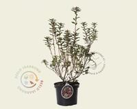 Rhododendron racemosum 'Anna Baldsiefen'