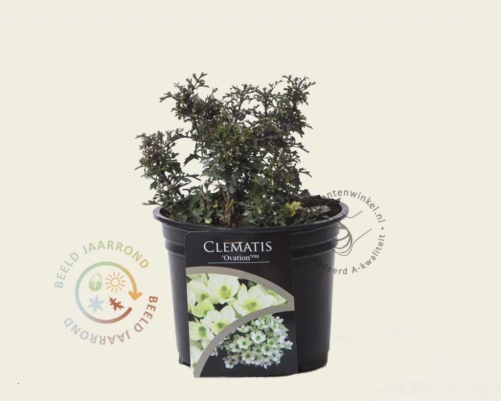 Clematis 'Ovation'