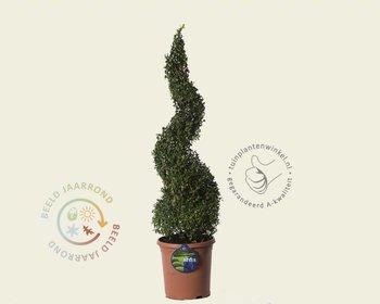 Buxus sempervirens spiraal