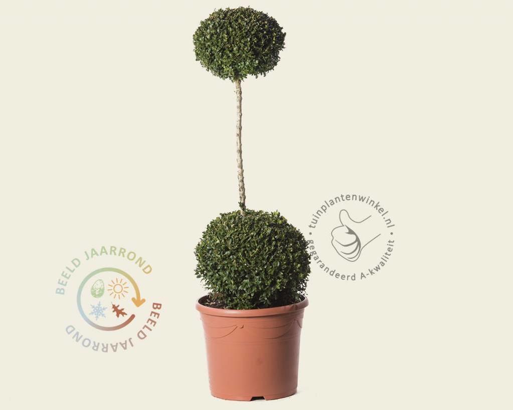 Buxus sempervirens 2 bollen op stam