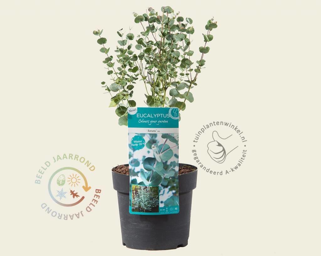 Eucalyptus Gunni Azura Gomboom Vertrouwd Online Kopen