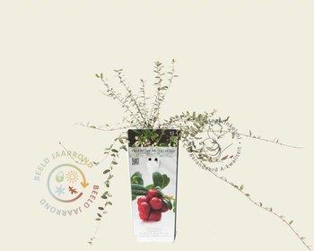 Vaccinium macrocarpon 'Pilgrim' - Cranberry