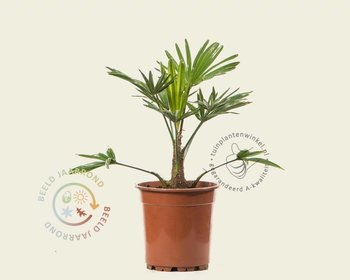 Trachycarpus wagnerianus 020/30