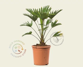 Trachycarpus wagnerianus 040/50