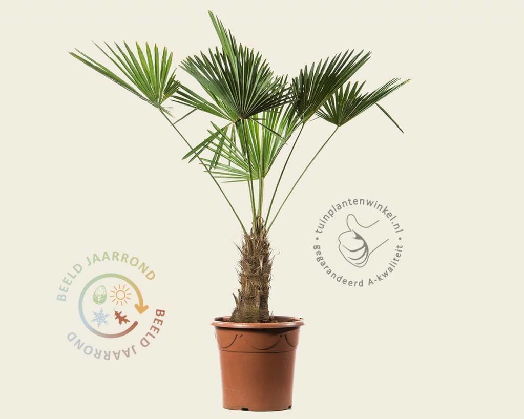 Trachycarpus wagnerianus - 30/40 cm stam
