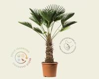 Trachycarpus wagnerianus - 50/60 cm stam