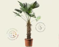 Trachycarpus wagnerianus - 80/100 cm stam