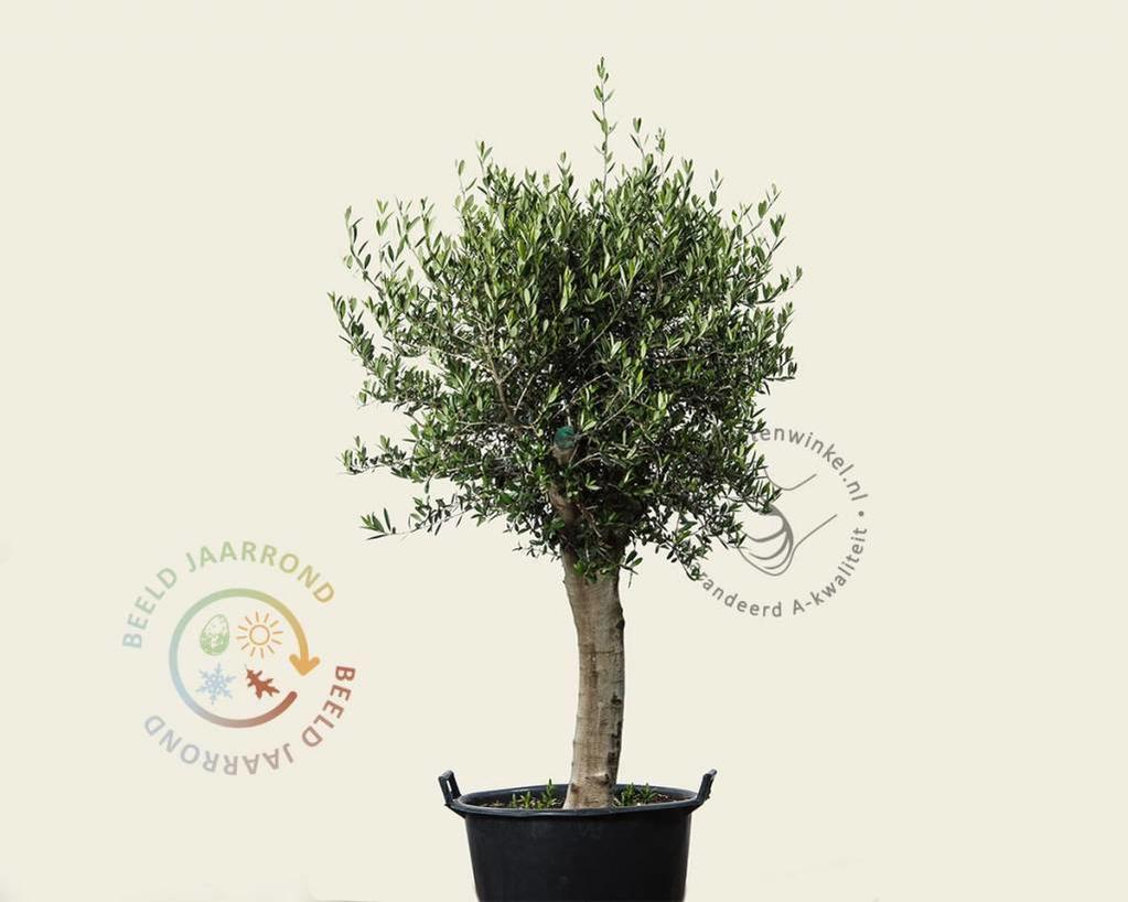 Olea europaea - 50 cm stam