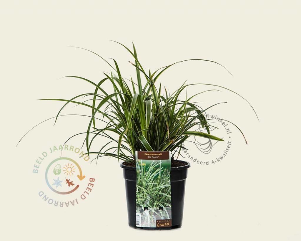Carex morrowii 'Ice Dance'