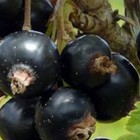Zwarte bessenstruiken