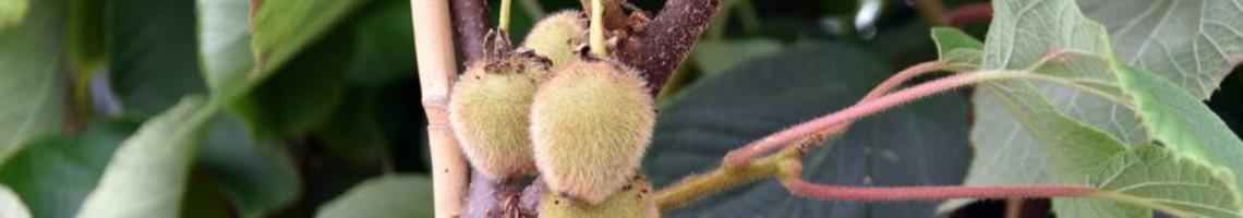 Alle kiwiplanten