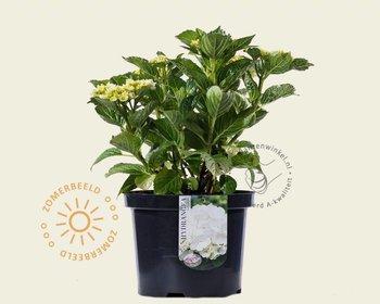 Hydrangea macrophylla - Wit