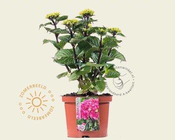 Hydrangea macrophylla 'Black Steel Zambia'