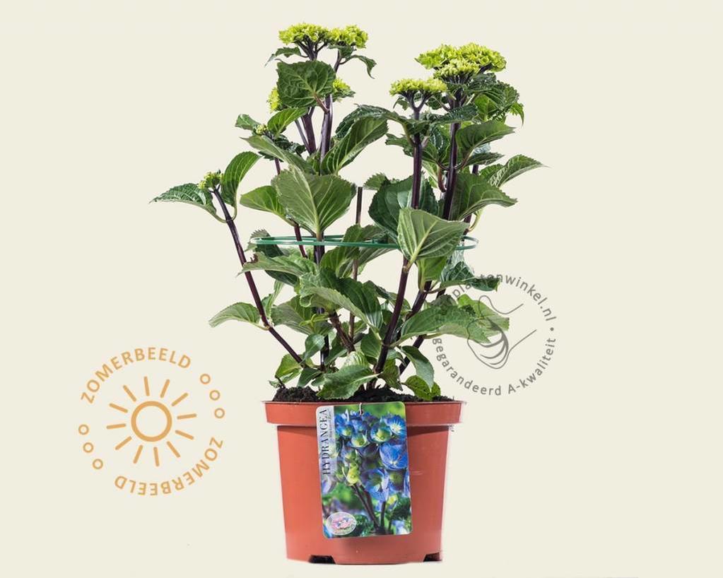 Hydrangea macrophylla 'Black Steel Zasa'