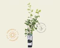 Ribes nidrigolaria 'Josta'