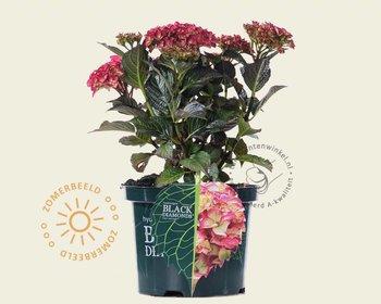 Hydrangea macrophylla 'Red Angel'