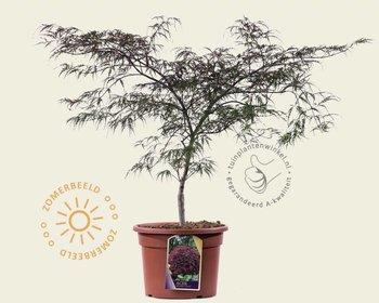Acer palmatum 'Garnet' 060/80