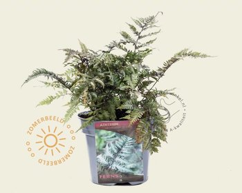 Athyrium niponicum 'Metallicum'