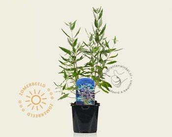 Caryopteris x clandonensis 'Heavenly Blue'