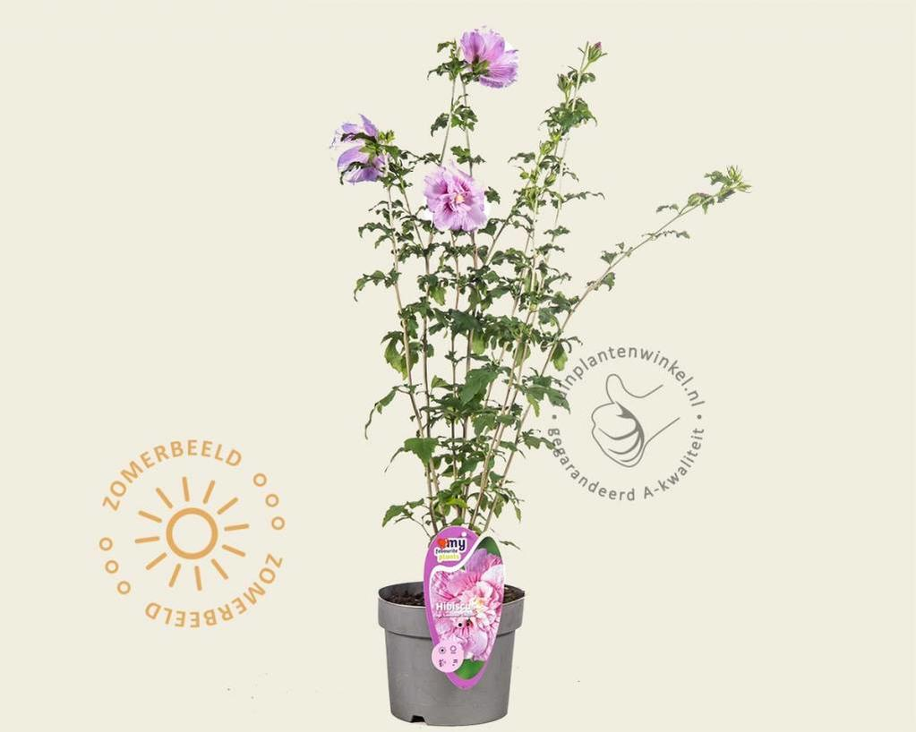 Hibiscus 'Lavender Chiffon'
