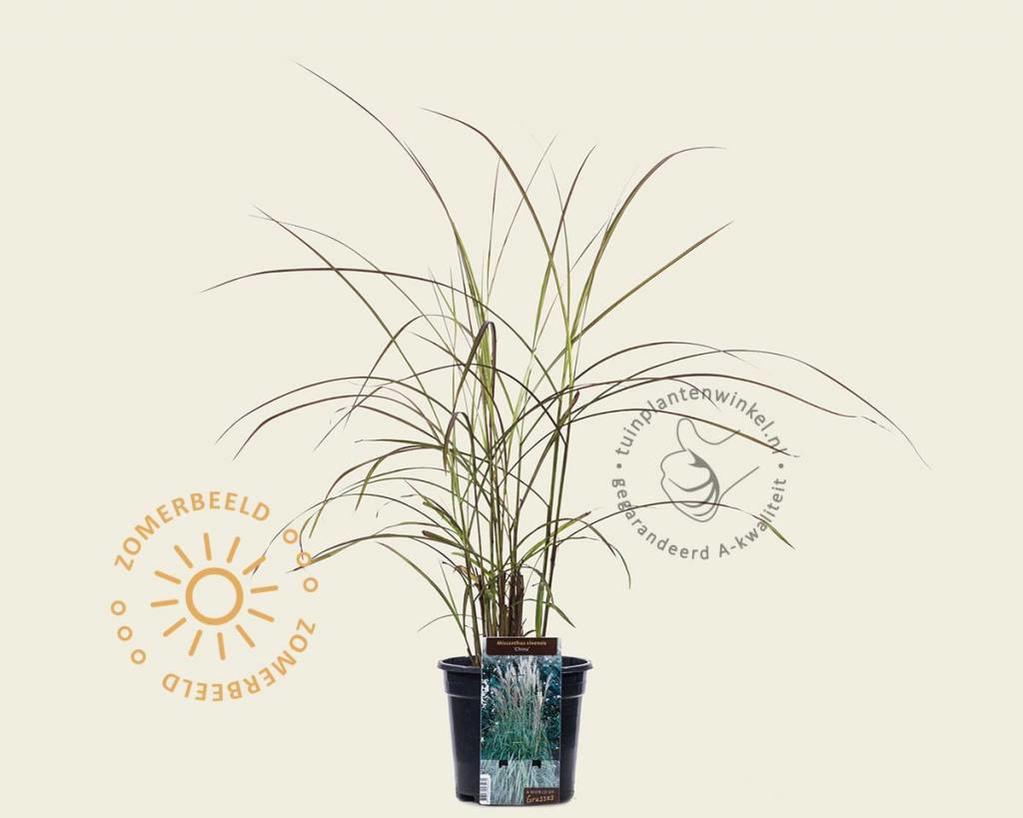 Miscanthus sinensis 'China'