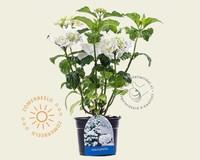 Hydrangea macrophylla 'Madame Emile Mouillere'