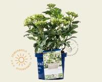 Hydrangea macrophylla 'Magical Noblesse'