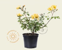 Rosa 'Yellow Fleurette'