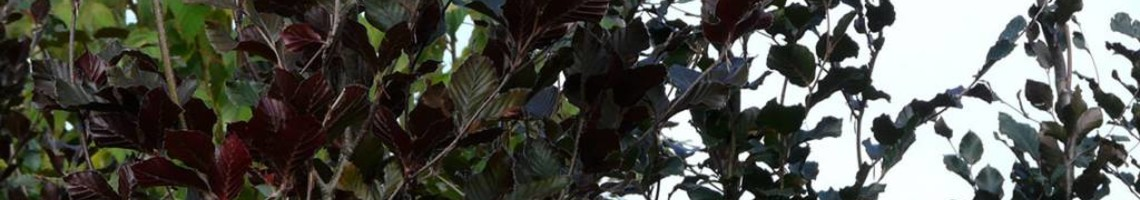Zuilbomen