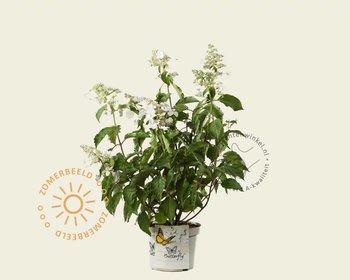 Hydrangea paniculata 'Butterfly'