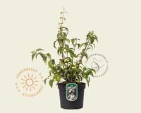 Deutzia x hybrida 'Mont Rose'